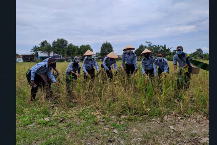 Rutan Putussibau panen padi Napi untuk ketahanan pangan