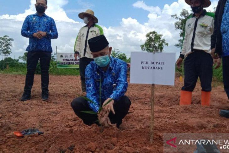 Kotabaru's Islamic boarding school develops red ginger