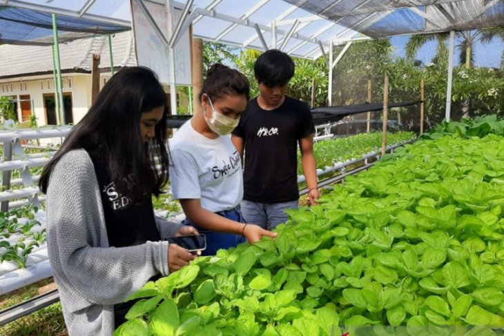 PLN Bali dorong masyarakat manfaatkan hidroponik ditopang tenaga listrik