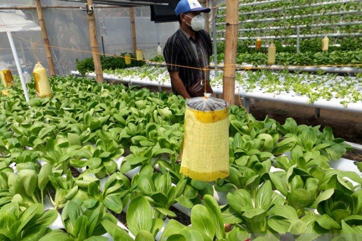 Permintaan sayuran hidroponik semakin tinggi