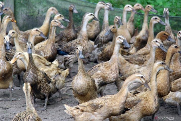 Polda Aceh tetapkan empat tersangka korupsi pengadaan bebek