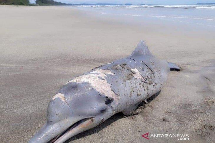 Lumba-lumba mati terdampar di pantai Tapanuli Selatan