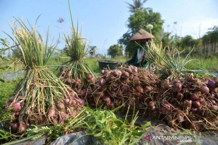 Produksi bawang merah Agam meningkat 1.928 ton