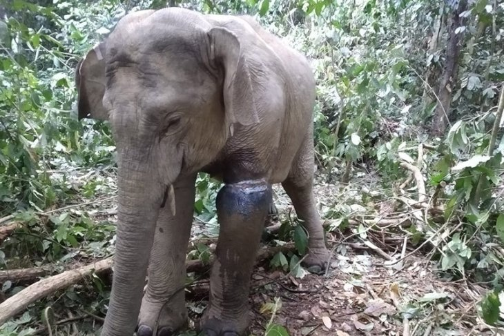 Veterinarian team treats wounded female Sumatran elephant in East Aceh