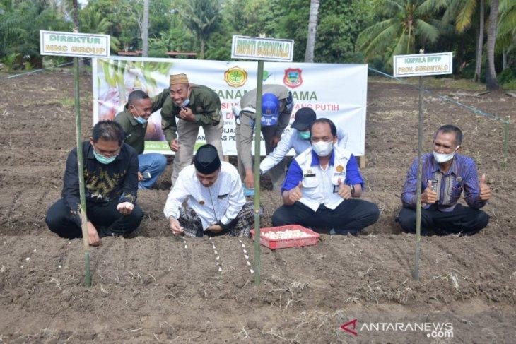 Pemkab Gorontalo dan BPTP kembangkan bawang putih