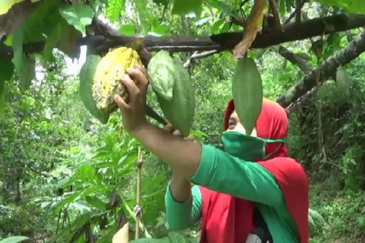 Pengolahan pascapanen kakao-kopi di Madiun belum maksimal