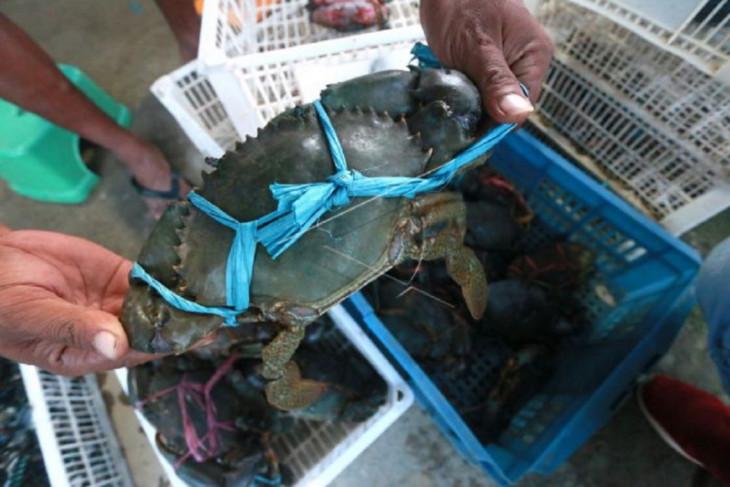 Foto - Budidaya lobster Talubotu Bone Bolango diminati luar negeri
