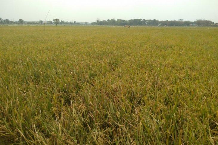 Bupati Karawang: Produksi padi melimpah setiap tahun