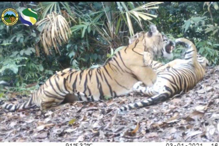 Seekor induk dan dua anak harimau sumatera terpantau di Taman Nasional Bukit Tiga Puluh