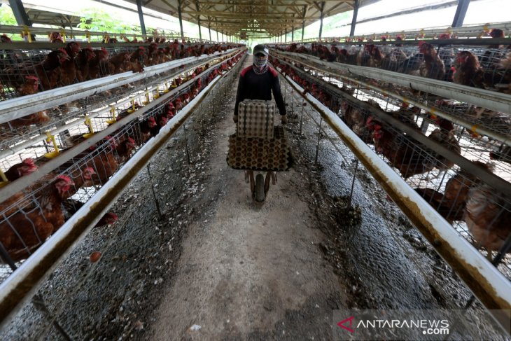 Peternakan Ayam Petelur