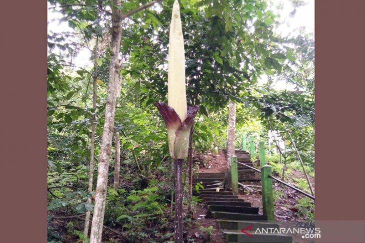 Amorphophallus gigas setinggi lebih 3 meter mekar di Kepahiang Bengkulu