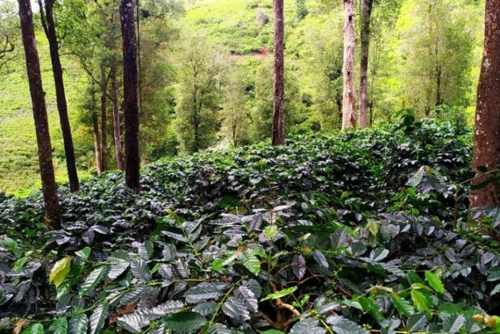 Restoring popularity of Cianjur as a quality coffee producer