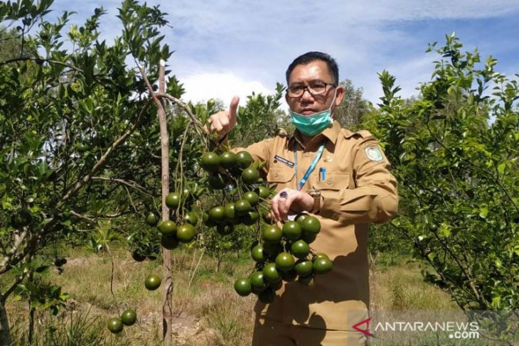 Tahun ini pengembangan jeruk teknologi Bujangseta di Sambas 1.000 hektare