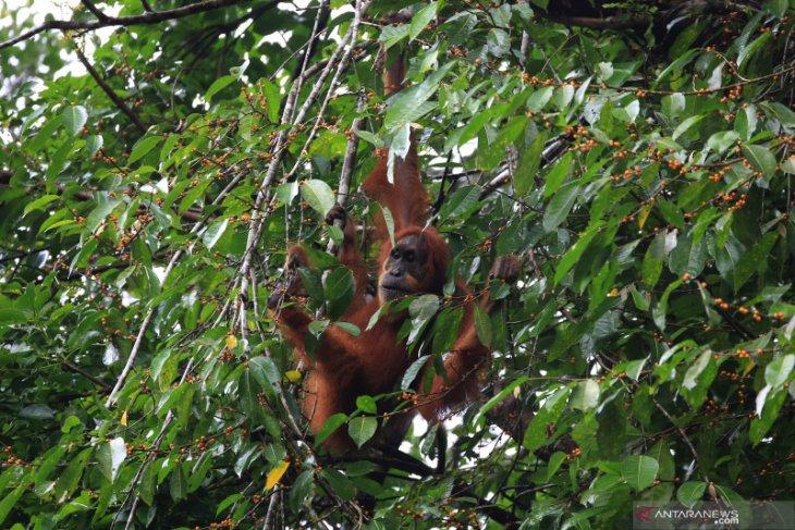 Tercatat 1.968 ekor orangutan hidup di Taman Nasional Kapuas Hulu