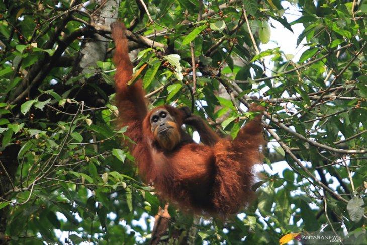 Tiga ekor orangutan hirup alam bebas di kawasan TNBK Kapuas Hulu