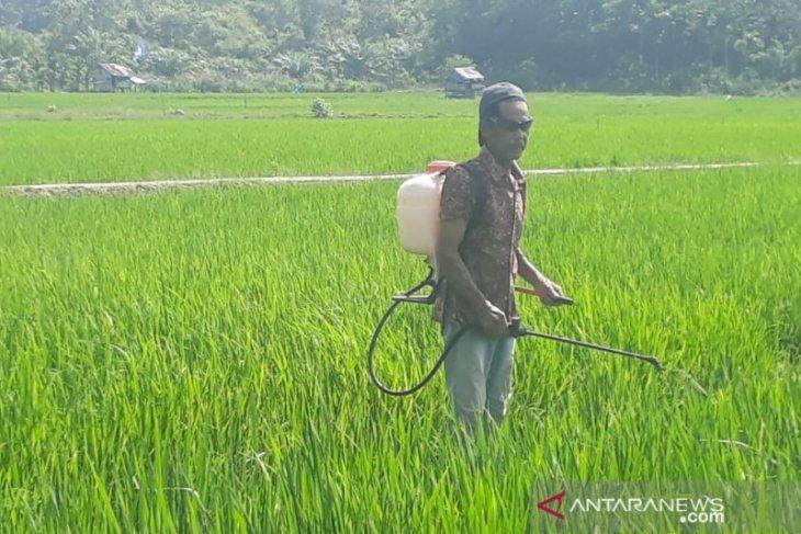 Tanaman padi di Aceh Jaya diserang hama ulat