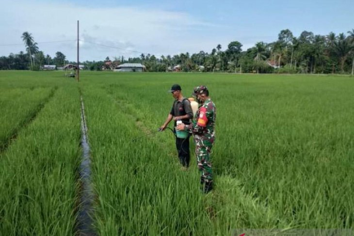 Cegah hama, Kodim Aceh Timur bantu petani semprot tanaman padi
