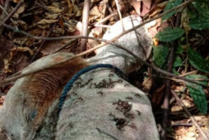 Harimau masuk kampung, seekor lembu mati diterkam