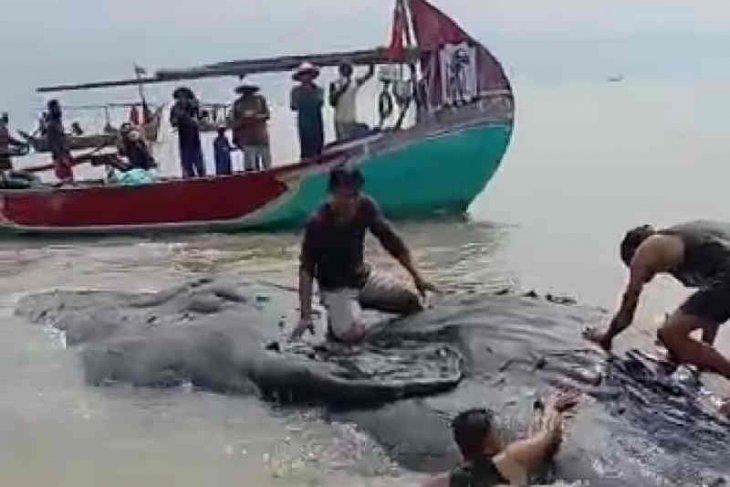 Paus dalam kondisi mati ditemukan di perairan Cirebon
