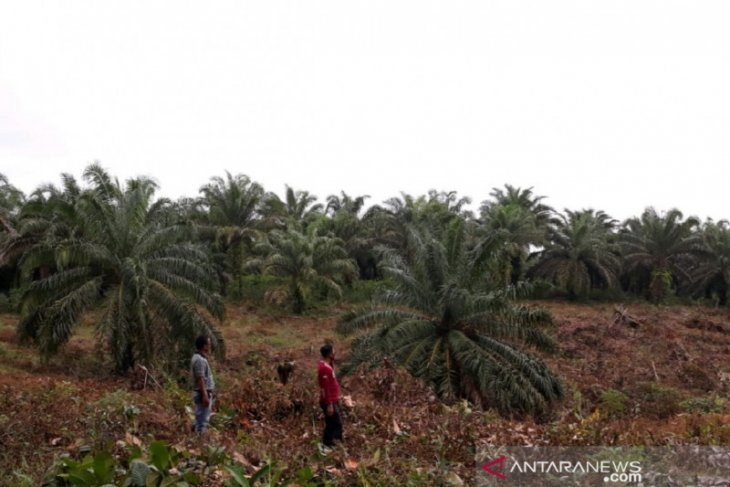 Mukomuko sosialisasikan program peremajaan sawit kepada petani