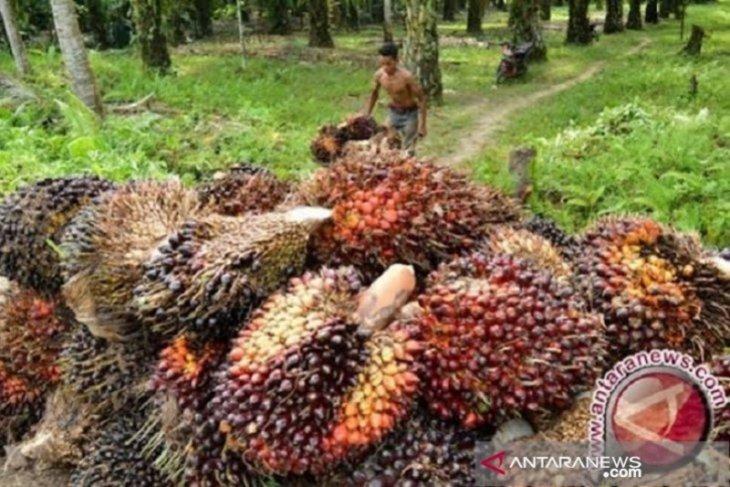 Harga TBS sawit di Kotabaru merangkak naik jadi Rp1.800 per kg