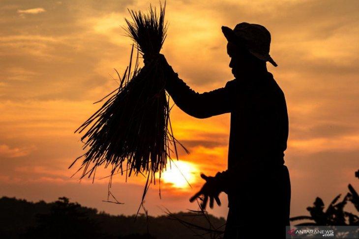 BUMN Pertani diminta pemerintah serap 300.000 ton gabah petani