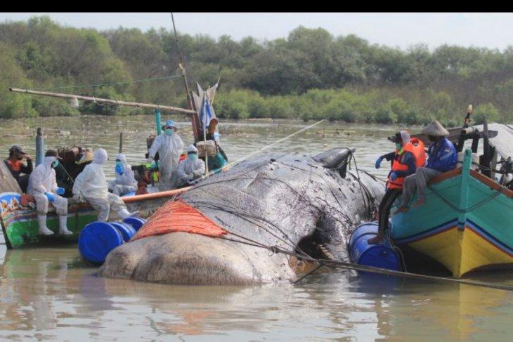Evakuasi paus terdampar