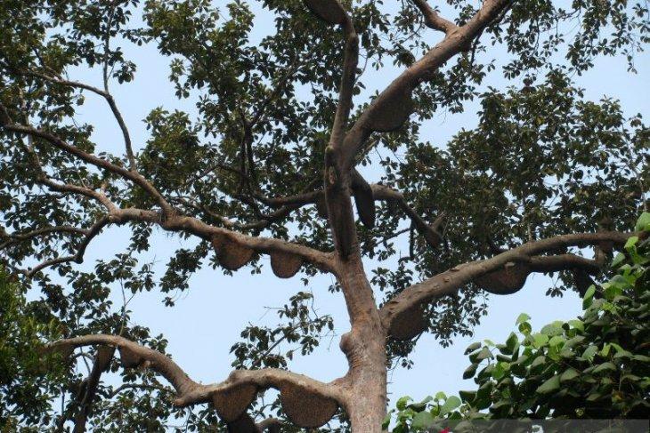 Pohon adat Sialang ditetapkan Kementerian LHK sebagai pohon dilindungi