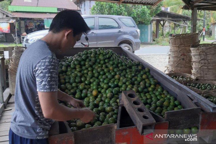 Harga jeruk Sambas Rp11.000 per kilogram buat petani gembira