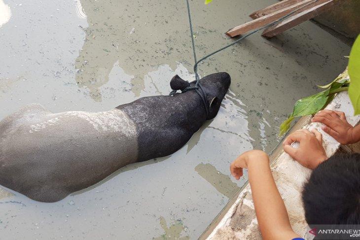 Byuuur.... Seekor tapir dewasa tercebur ke kolam ikan