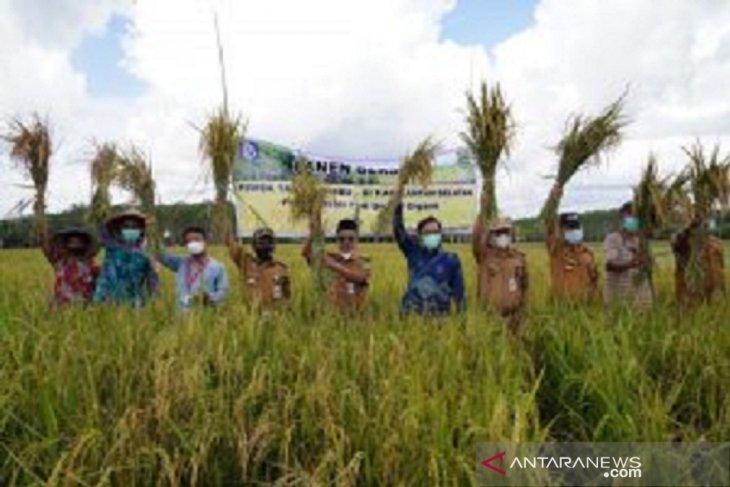 Gapoktan Tanah Bumbu panen padi organik