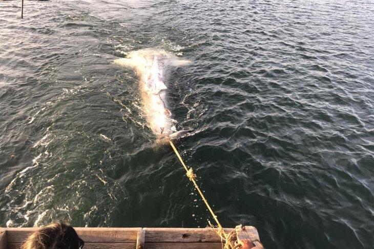 Hiu paus terdampar di Bengkulu dalam kondisi mati