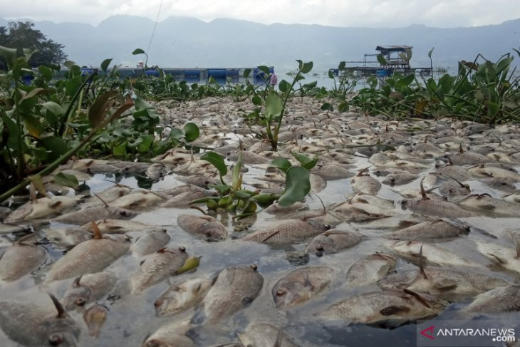 Akibat angin kencang, 10 ton ikan di Danau Maninjau mati massal