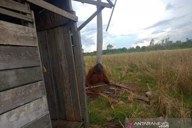 Orangutan masuk perkampungan warga di KKU  merusak pohon kelapa