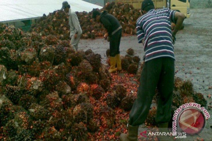 Pendapatan petani plasma sawit Rp1,7 juta-Rp4 juta/ha
