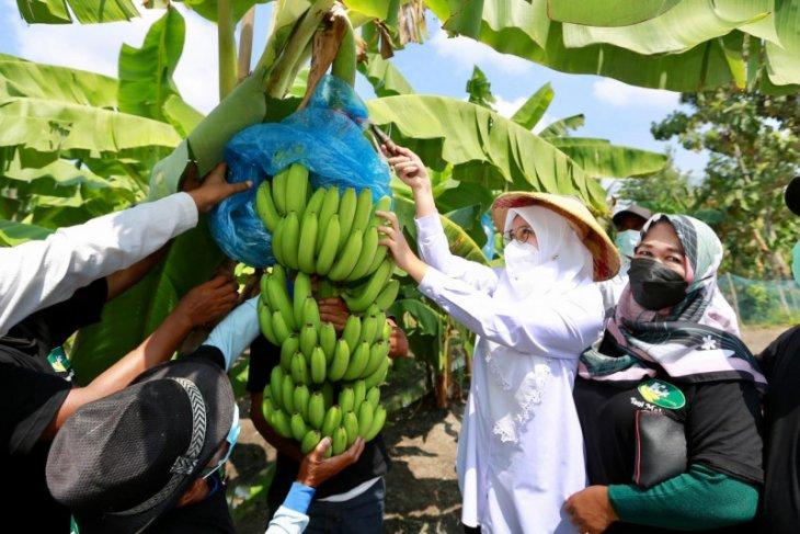 Bupati Ipuk dukung petani Banyuwangi budi daya pisang cavendish