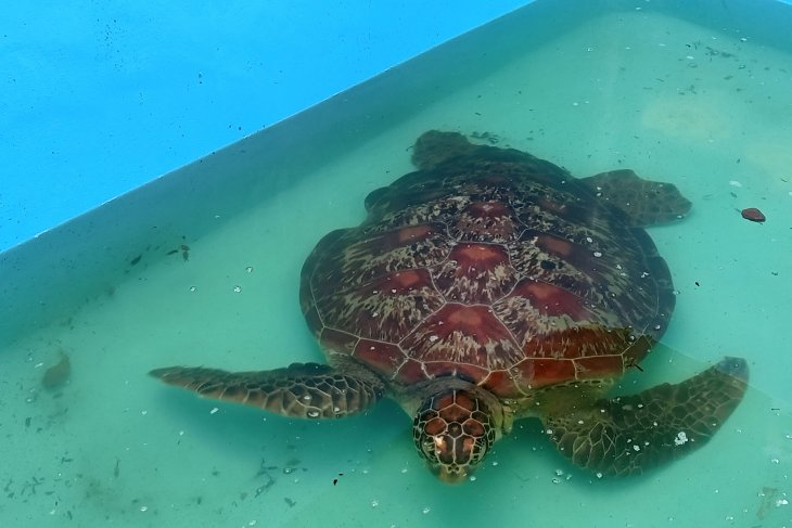 West Papua police arrest resident with two protected hawksbill turtles