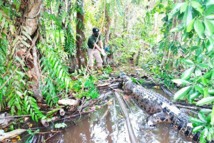 BKSDA Kalteng selidiki penyebab kematian buaya di Sungai Mentaya