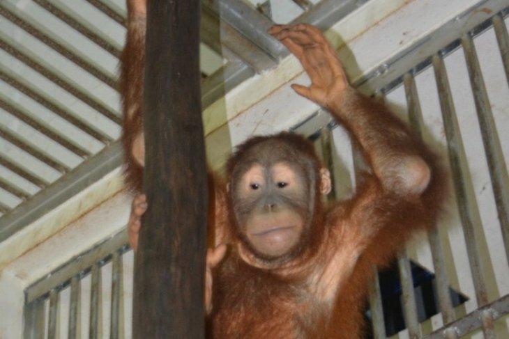 Dua ekor orangutan selamat dari praktik penyelundupan