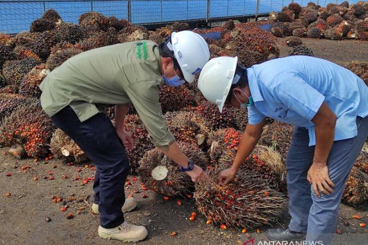 TBS kelapa sawit Kalbar catat harga tertinggi capai Rp2.236,76 per kilogram