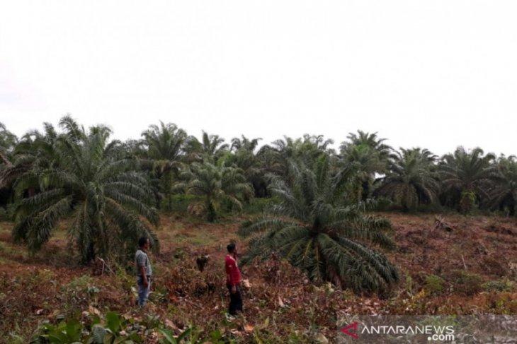 Harga kelapa sawit di Mukomuko mulai turun