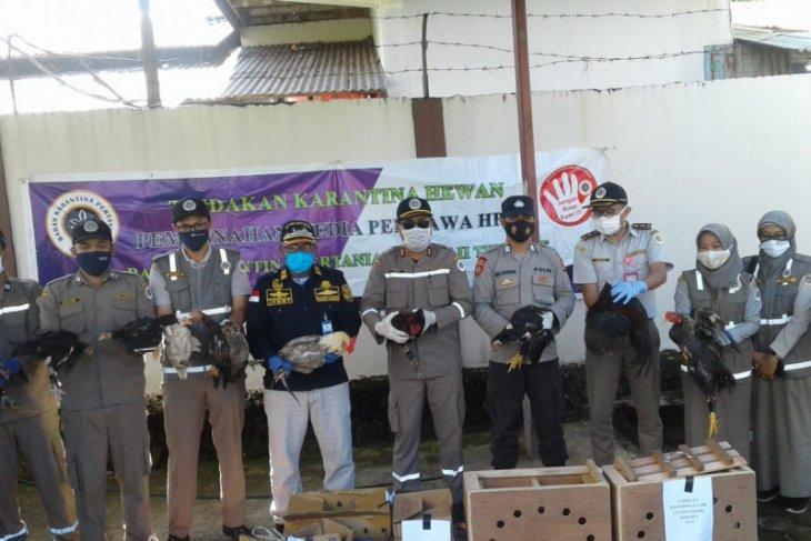 Karantina Pertanian Ternate musnahkan 21 ekor unggas cegah flu burung
