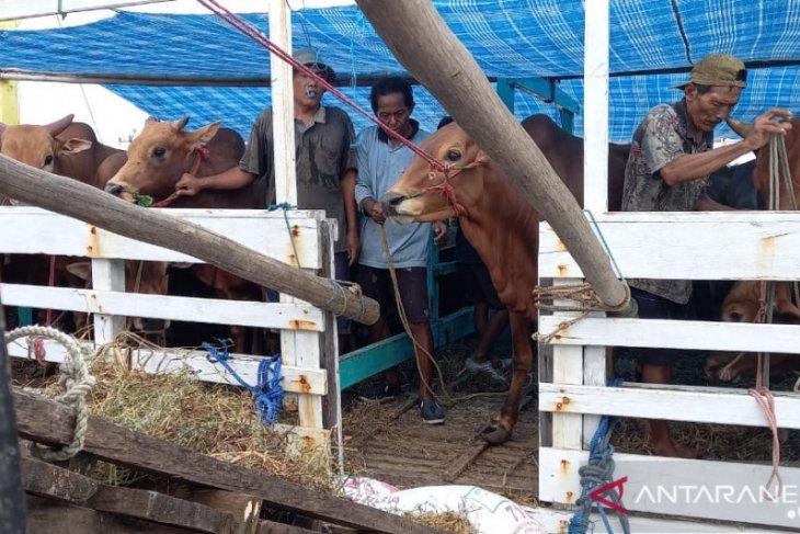 166 ekor sapi kebutuhan Idul Fitri tiba di Belitung