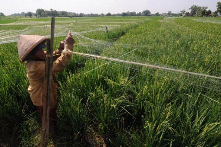 Jaring pelindung tanaman padi