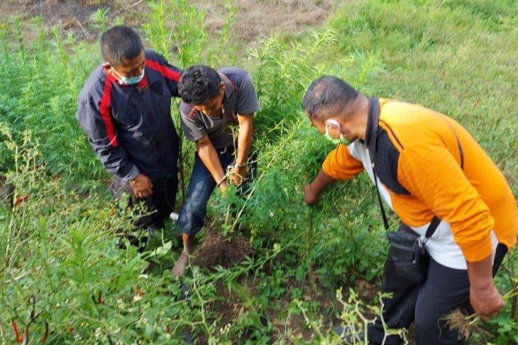 Tanam 50 batang ganja, petani 35 tahun ini diamankan Polres Simalungun