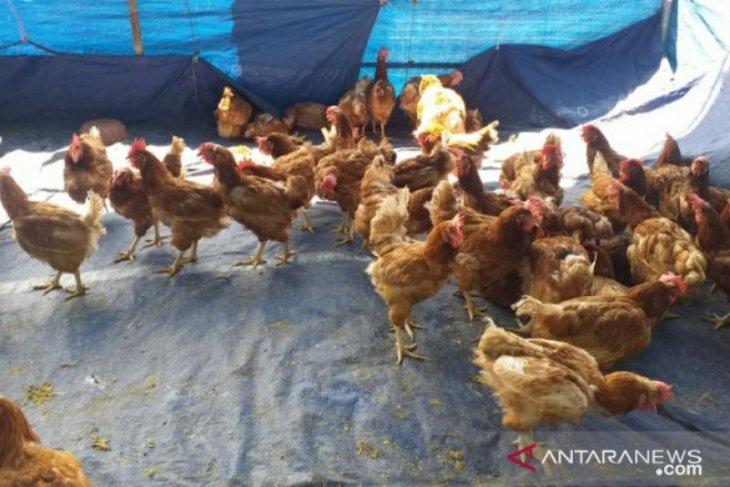 Stok ayam afkir kebutuhan lebaran di Belitung capai 40 ribu ekor