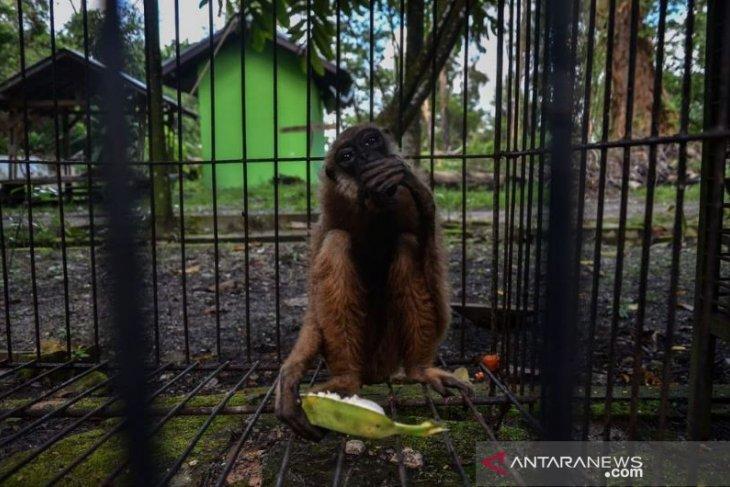 BBKSDA Riau evakuasi Owa Ungko