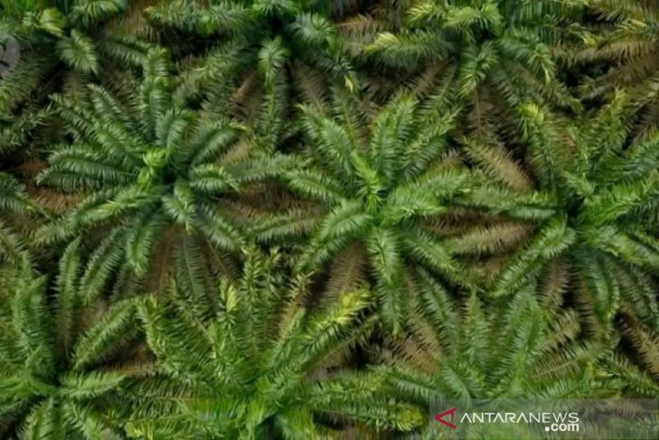 Harga sawit di Riau melonjak yang dipicu kenaikan CPO di Malaysia