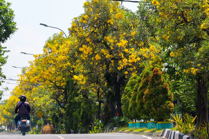 Bunga Tabebuya bermekaran di jalanan Kota Surabaya saat Lebaran