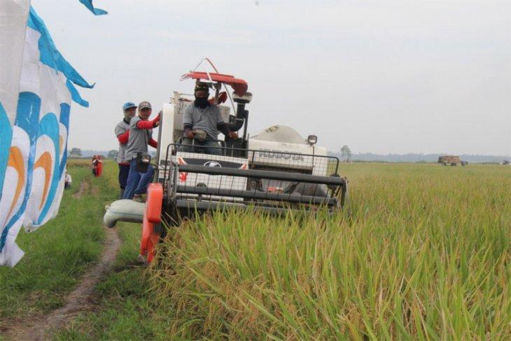 Ratusan Hektare Sawah Petani Mitra PTPN VII Panen Raya